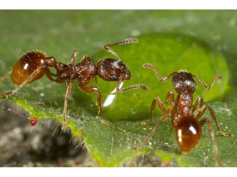 Муравьи Myrmica bergi