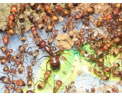 Муравьи Camponotus nicobarensis
