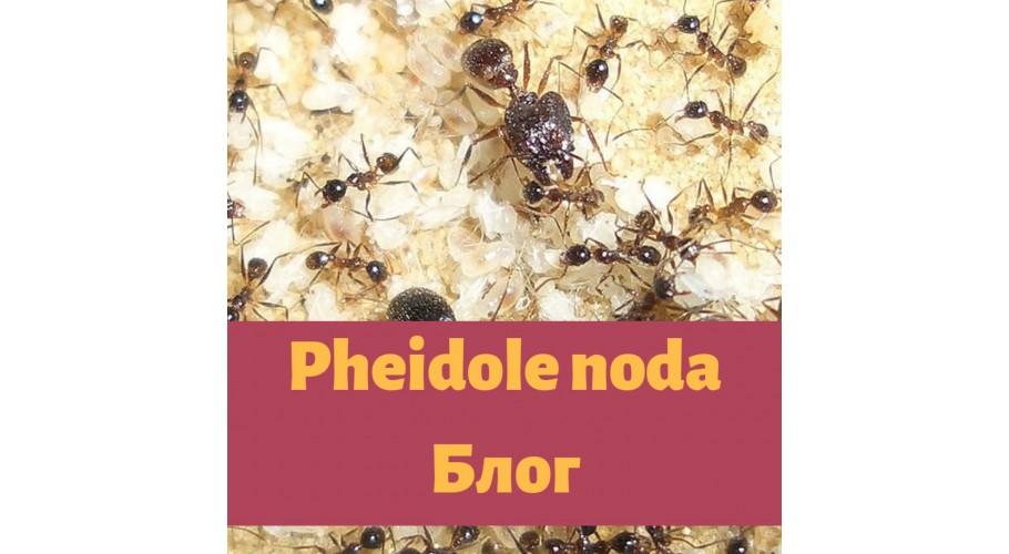 Муравьи Pheidole noda
